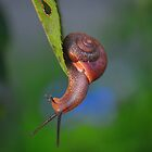Snail by joevoz
