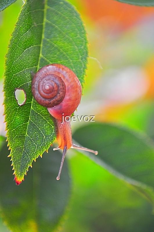 Snail on Rose Bush Leaf by joevoz