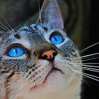 Blue Eyed Cat by joevoz