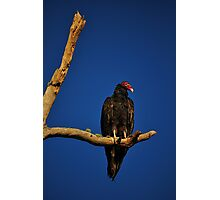 Vulture in Tree Photographic Print