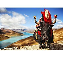 Yak in Traditional Dress in front of Lake in Tibet Photographic Print