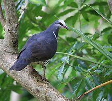 Wonga Pigeon by aussiebushstick