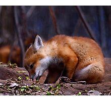Curious Kit Fox Photographic Print