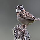 Rufous-Collared Sparrow by Jillian Johnston