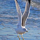 Seagull Taking Off by Robin Lee