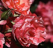 Rose Delight by Joy Watson