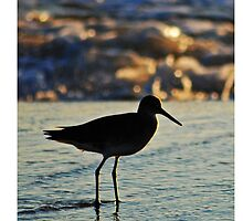 Willet by Robin Lee