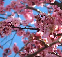 Cherry Blossom - Pink by Sammy Nuttall