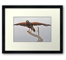 Yoga Hawk  Framed Print