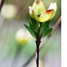 Dogwood Bloom by Robin Black