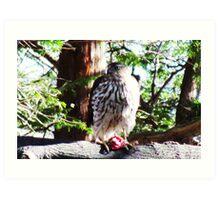 Coopers Hawk feeding at Wingfoot Art Print