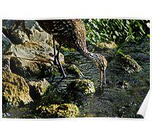 Limpkin Feeding on Snails Poster