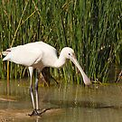 Yellow-billed Spoonbill (Platalea flavipes), Muloorina Station, South Australia by Blue Gum Pictures
