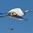 Great Egret (Ardea alba), Muloorina Station, South Australia by Blue Gum Pictures