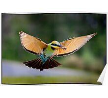 Rainbow Bee-Eater 447 Poster