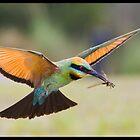 Rainbow Bee-Eater 450 by John Van-Den-Broeke