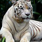 White Tiger - Singapore. (2) by Ralph de Zilva