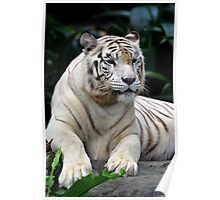 White Tiger - Singapore. (2) Poster