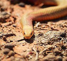 Copperhead snake by Mel  LEE