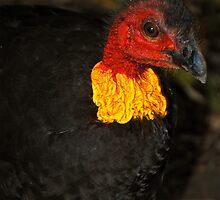 Aussie Scrub Turkey by Penny Smith