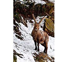 Ibex in Winter Photographic Print