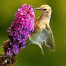 sunbird by BlaizerB