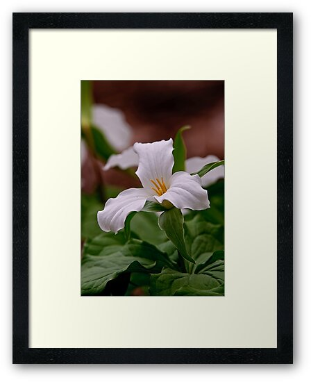 Trillium grandiflorum - Ottawa, Ontario by Michael Cummings