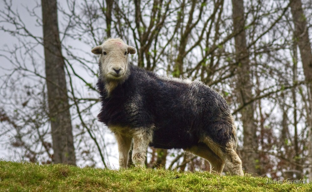 Herdwick Sheep by Jamie  Green