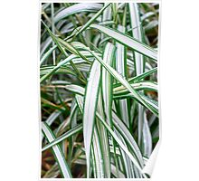 Ribbon Grass Poster