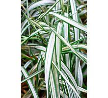 Ribbon Grass Photographic Print
