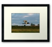oystercatcher Framed Print