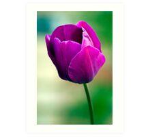 Purple Tulip Flower Art Print