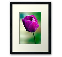 Purple Tulip Flower Framed Print