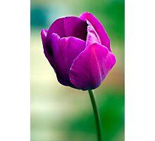 Purple Tulip Flower Photographic Print