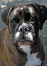 Portrait Of A Female Boxer -Boxer Dogs Series- by Evita