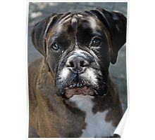 Portrait Of A Female Boxer -Boxer Dogs Series- Poster
