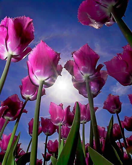 Field of Tulips by Henry Jager