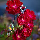 Roses by PhotosByHealy