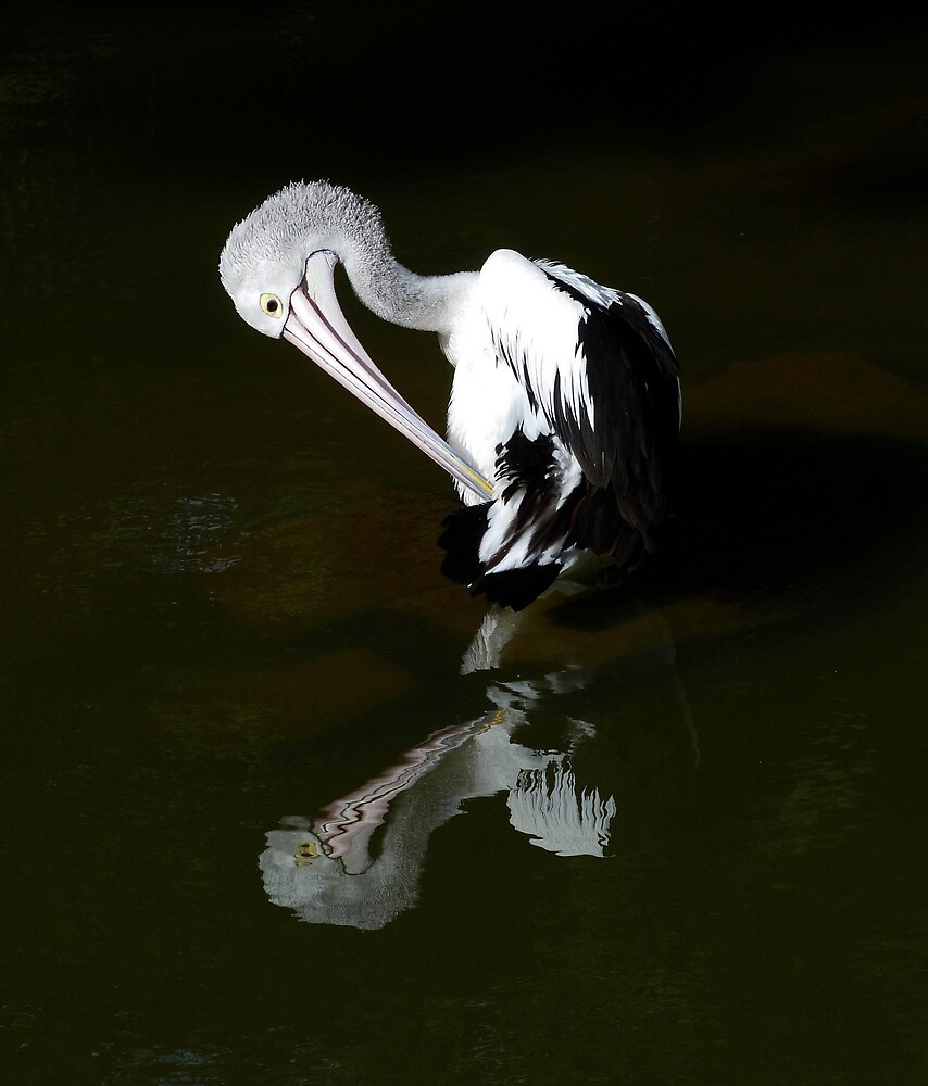 The Australian Pelican by Margaret Saheed
