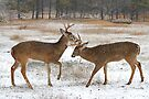 Battle of the Big Bucks - let's get ready to rumble!! by Jim Cumming