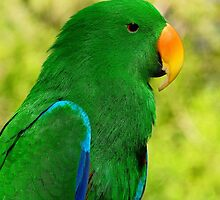 Spectacular Eclectus Parrot by Margaret Saheed