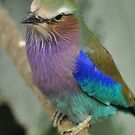 Posing Lilac Breasted Roller by Dorothy Thomson