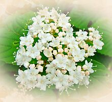 White and Cream Hydrangea Blossoms by MotherNature