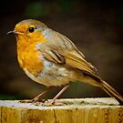 Robin Red Breast by Colin Metcalf