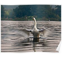 Adult Swan Stretching its wings Poster