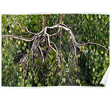Weeping Birch Poster