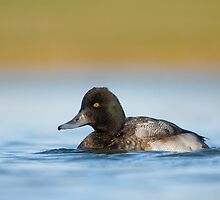 Low Angle Lesser Scaup by Daniel Cadieux