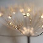 Seed head sparkle by smcneem