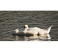Mute Swan looking Photographic Print