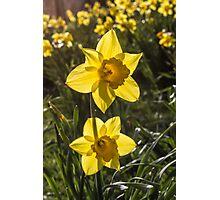 Daffodil Flowers Photographic Print